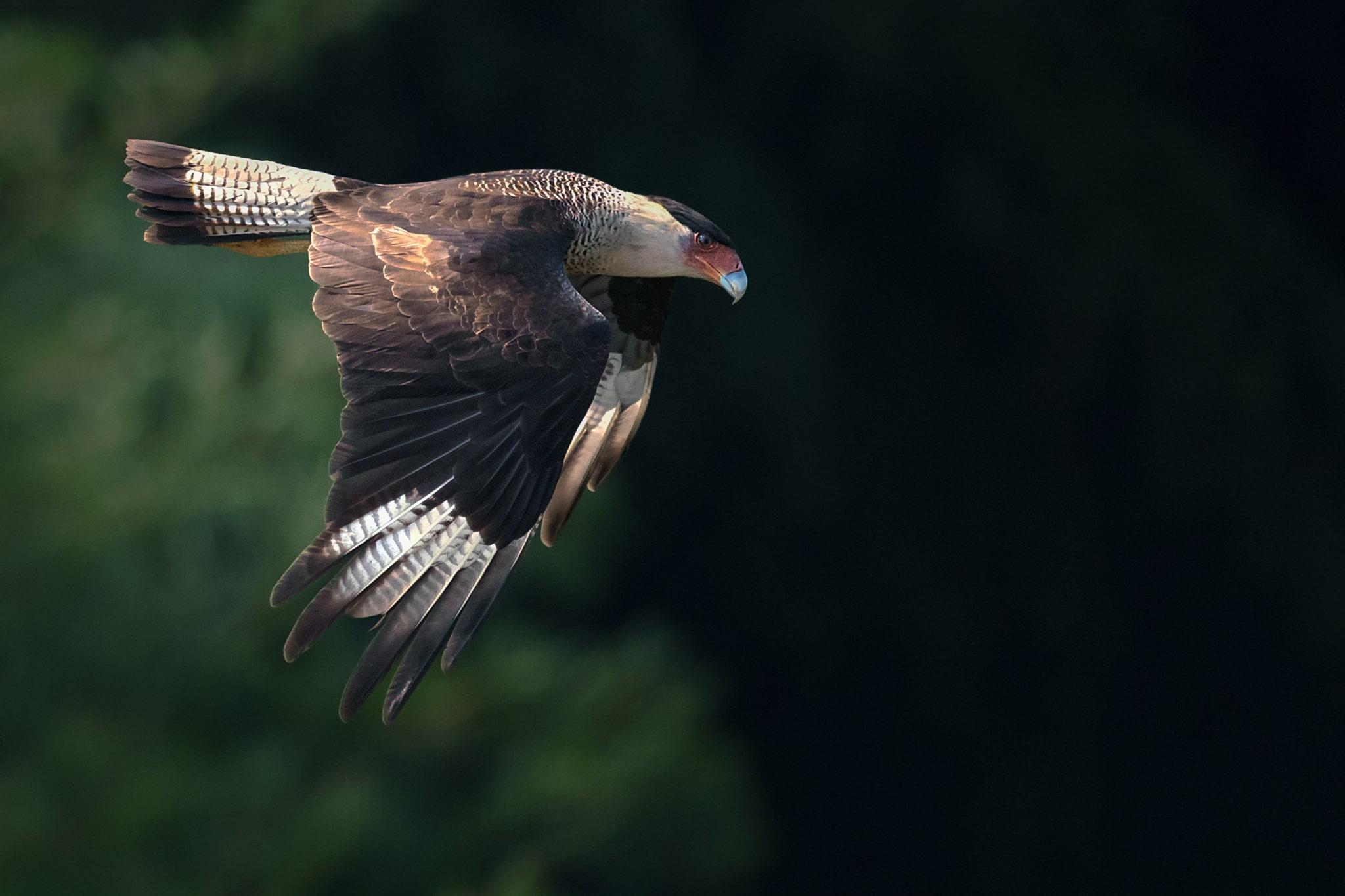 Fotografía de aves en vuelo por Memo Gómez